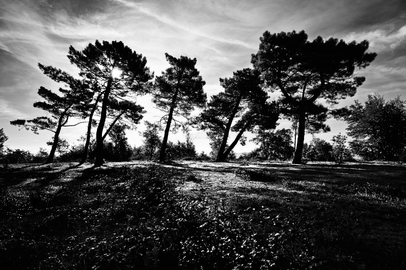 Fine art bw landscape photo of a forest of pine trees