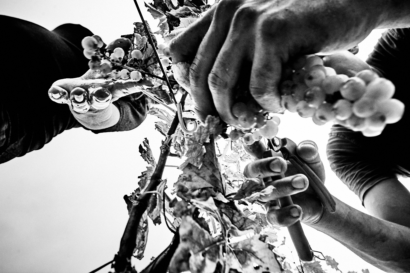 black fine art image done during the harvest of Muscat in France